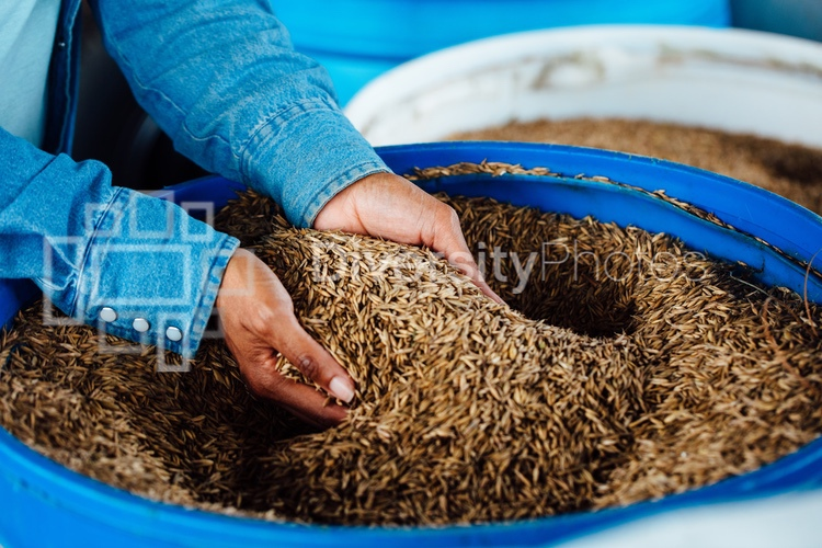 Woman picking up rye to feed goats
