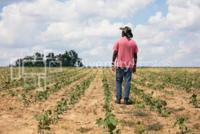 Man looking out over cotton field on farm